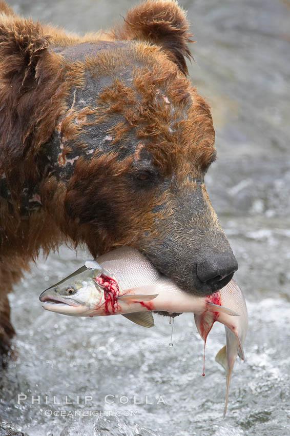 A brown bear eats a salmon it has caught in the Brooks River. Brooks River, Katmai National Park, Alaska, USA, Ursus arctos, natural history stock photograph, photo id 17242