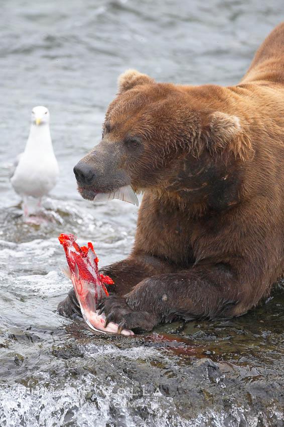 A brown bear eats a salmon it has caught in the Brooks River. Brooks River, Katmai National Park, Alaska, USA, Ursus arctos, natural history stock photograph, photo id 17286