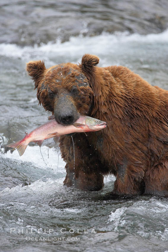 A brown bear eats a salmon it has caught in the Brooks River. Katmai National Park, Alaska, USA, Ursus arctos, natural history stock photograph, photo id 17322