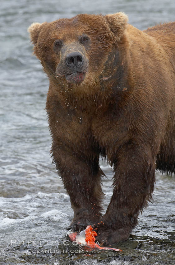 A brown bear eats a salmon it has caught in the Brooks River. Katmai National Park, Alaska, USA, Ursus arctos, natural history stock photograph, photo id 17354