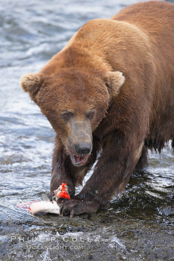 A brown bear eats a salmon it has caught in the Brooks River. Katmai National Park, Alaska, USA, Ursus arctos, natural history stock photograph, photo id 17244