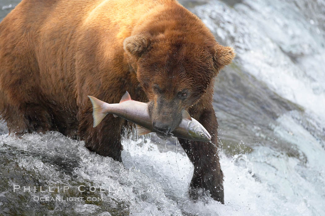 Image 17328, A brown bear eats a salmon it has caught in the Brooks River. Katmai National Park, Alaska, USA, Ursus arctos, Phillip Colla, all rights reserved worldwide. Keywords: alaska, alaskan brown bear, animal, animalia, arctos, bear, bear behavior, brooks falls, brooks river, brown bear, brown bear catching salmon, brown bear eating salmon, caniformia, carnivora, carnivore, chordata, coastal brown bear, environment, grizzly bear, jump, katmai, katmai national park, leap, mammal, national park, national parks, nature, outdoors, outside, river, salmon, spawn, ursidae, ursus, ursus arctos, ursus arctos horribilis, usa, vertebrata, vertebrate, water.