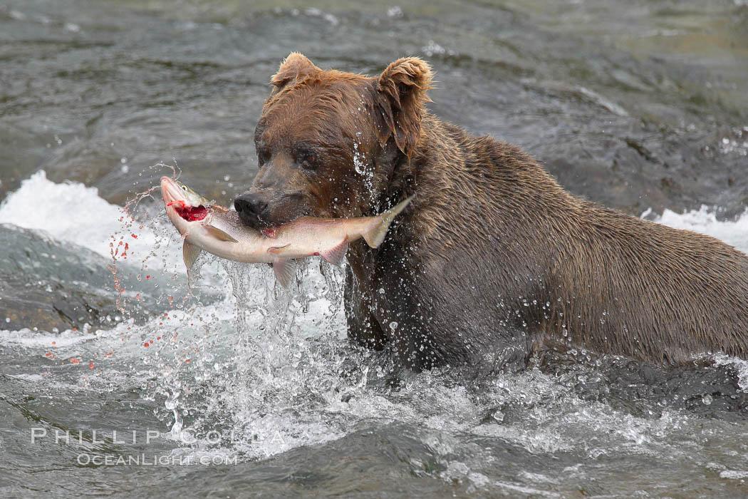 A brown bear eats a salmon it has caught in the Brooks River. Brooks River, Katmai National Park, Alaska, USA, Ursus arctos, natural history stock photograph, photo id 17099