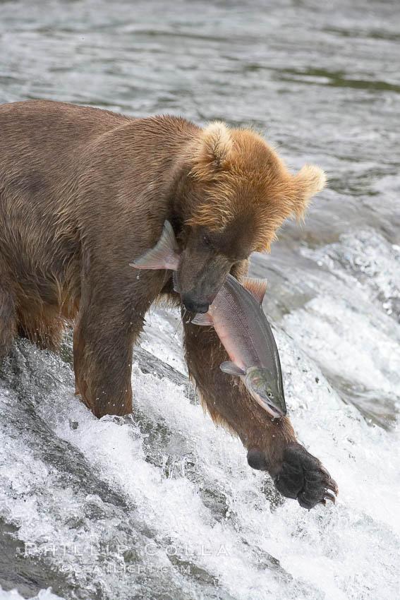 A brown bear eats a salmon it has caught in the Brooks River. Brooks River, Katmai National Park, Alaska, USA, Ursus arctos, natural history stock photograph, photo id 17347