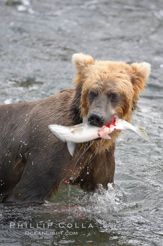 A brown bear eats a salmon it has caught in the Brooks River. Katmai National Park, Alaska, USA, Ursus arctos, natural history stock photograph, photo id 17101