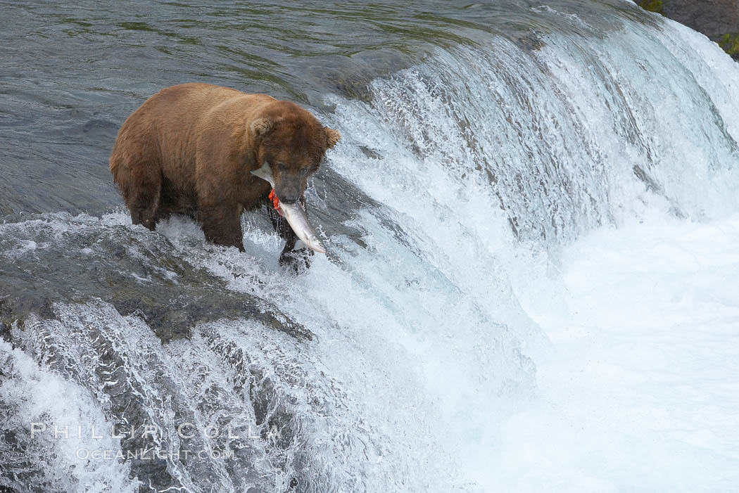 Image 17329, A brown bear eats a salmon it has caught in the Brooks River. Brooks River, Katmai National Park, Alaska, USA, Ursus arctos, Phillip Colla, all rights reserved worldwide. Keywords: alaska, alaskan brown bear, animal, animalia, arctos, bear, bear behavior, brooks falls, brooks river, brown bear, brown bear catching salmon, brown bear eating salmon, caniformia, carnivora, carnivore, chordata, coastal brown bear, environment, grizzly bear, jump, katmai, katmai national park, leap, mammal, national park, national parks, nature, outdoors, outside, river, salmon, spawn, ursidae, ursus, ursus arctos, ursus arctos horribilis, usa, vertebrata, vertebrate, water.