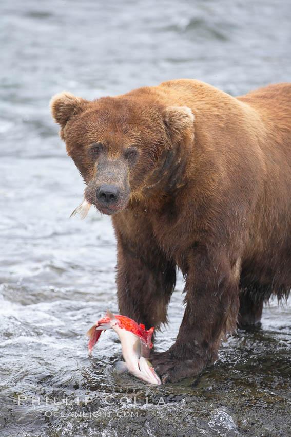 Image 17353, A brown bear eats a salmon it has caught in the Brooks River. Brooks River, Katmai National Park, Alaska, USA, Ursus arctos