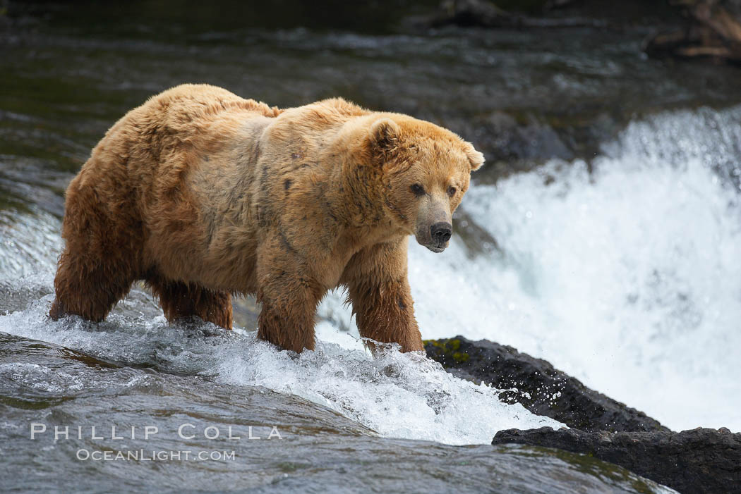 A large, old brown bear (grizzly bear) wades across Brooks River. Coastal and near-coastal brown bears in Alaska can live to 25 years of age, weigh up to 1400 lbs and stand over 9 feet tall. Brooks River, Katmai National Park, Alaska, USA, Ursus arctos, natural history stock photograph, photo id 17038
