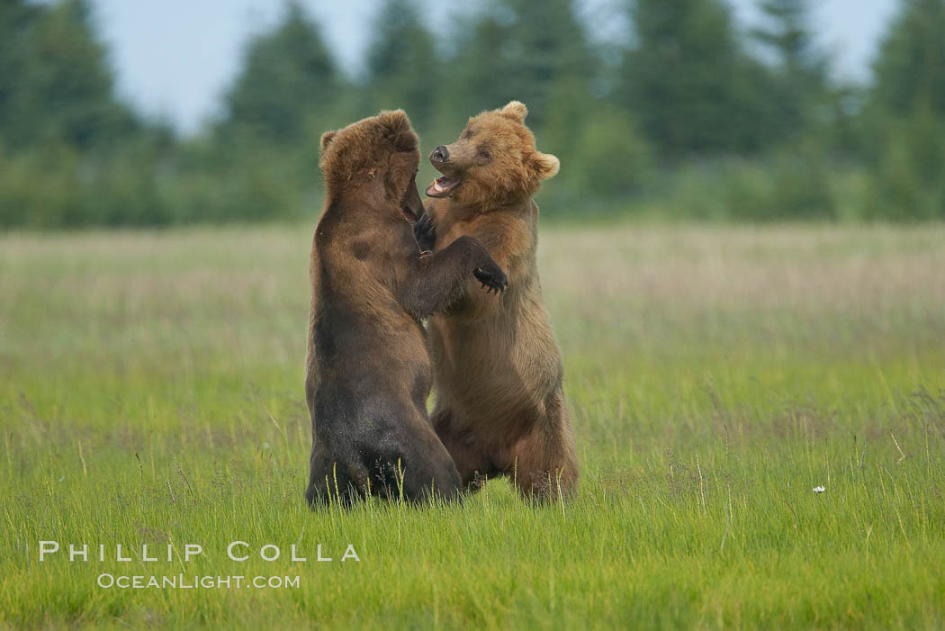 Brown bears fighting or sparring.  These are likely young but sexually mature males that are simply mock fighting for practice. Lake Clark National Park, Alaska, USA, Ursus arctos, natural history stock photograph, photo id 19250