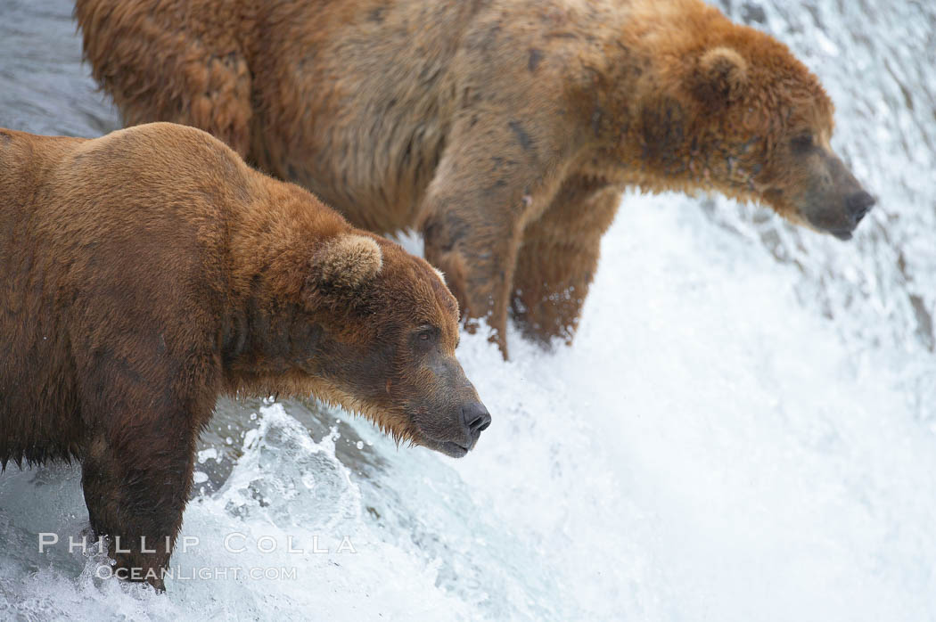 Brown bear (grizzly bear). Brooks River, Katmai National Park, Alaska, USA, Ursus arctos, natural history stock photograph, photo id 17040