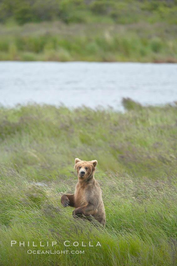 Brown bear walks through the marshes that skirt the Brooks River. Brooks River, Katmai National Park, Alaska, USA, Ursus arctos, natural history stock photograph, photo id 17068