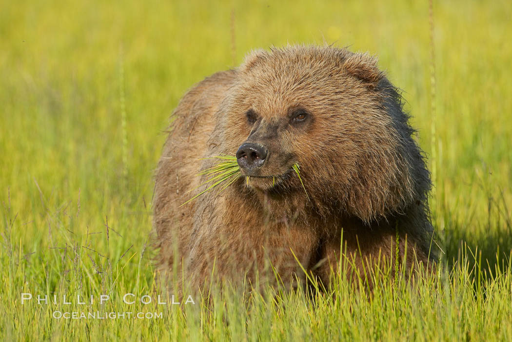 Image 19244, Young brown bear grazes in tall sedge grass.  Brown bears can consume 30 lbs of sedge grass daily, waiting weeks until spawning salmon fill the rivers. Lake Clark National Park, Alaska, USA, Ursus arctos
