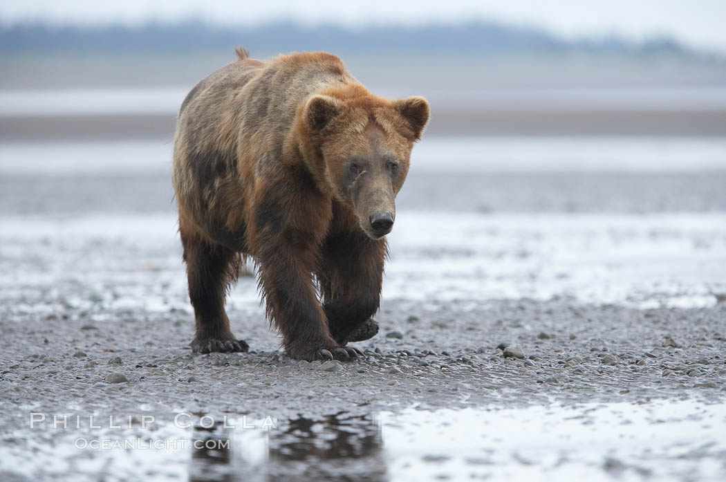 Mature male coastal brown bear boar waits on the tide flats at the mouth of Silver Salmon Creek for salmon to arrive.  Grizzly bear. Lake Clark National Park, Alaska, USA, Ursus arctos, natural history stock photograph, photo id 19252