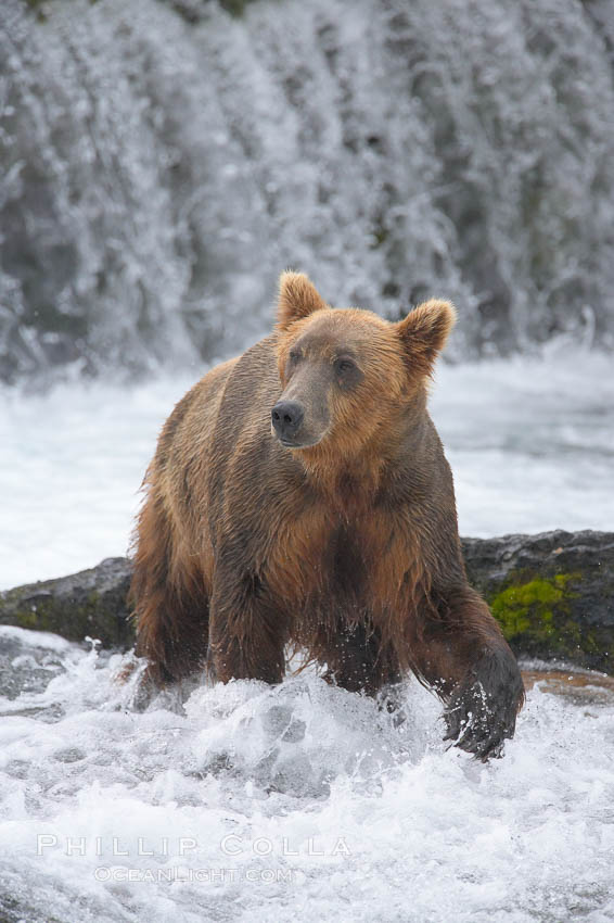 Brown bear (grizzly bear). Brooks River, Katmai National Park, Alaska, USA, Ursus arctos, natural history stock photograph, photo id 17043