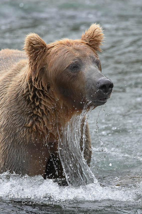 Brown bear (grizzly bear). Brooks River, Katmai National Park, Alaska, USA, Ursus arctos, natural history stock photograph, photo id 17059