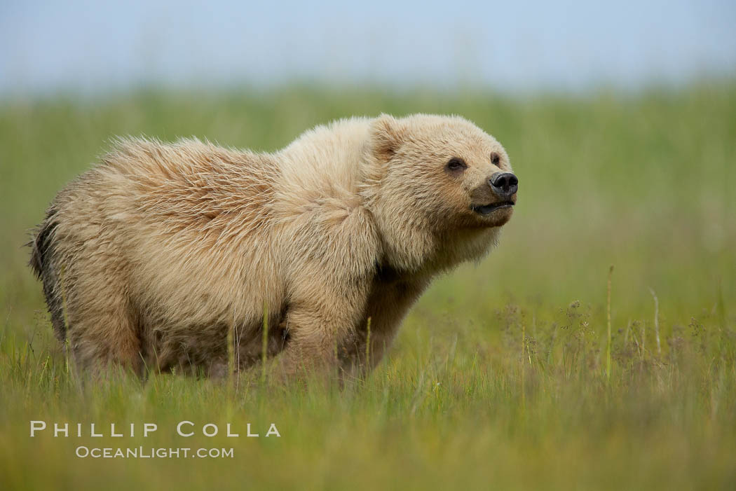 Coastal brown bear cub, one and a half years old, near Johnson River.  This cub will remain with its mother for about another six months, and will be on its own next year. Lake Clark National Park, Alaska, USA, Ursus arctos, natural history stock photograph, photo id 19247