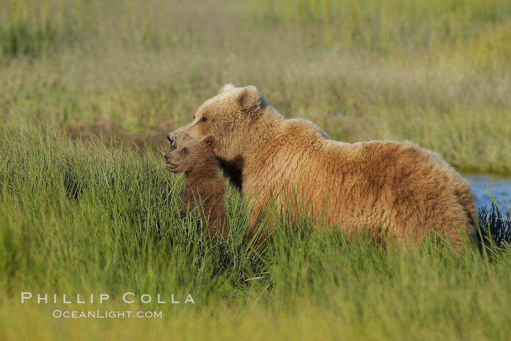 Female mother brown bear sow and spring cub in tall sedge grass. Lake Clark National Park, Alaska, USA, Ursus arctos, natural history stock photograph, photo id 19259