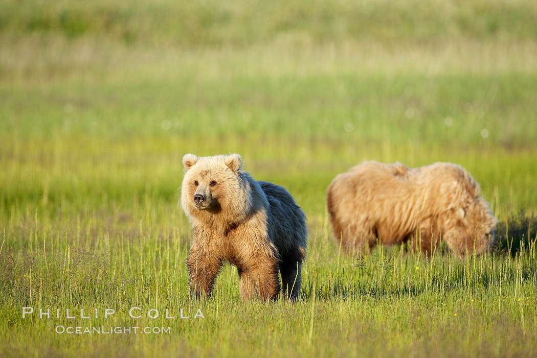 Juvenile brown bears near Johnson River.  Before reaching adulthood and competition for mating, it is common for juvenile brown bears to seek one another for companionship after leaving the security of their mothers. Lake Clark National Park, Alaska, USA, Ursus arctos, natural history stock photograph, photo id 19275