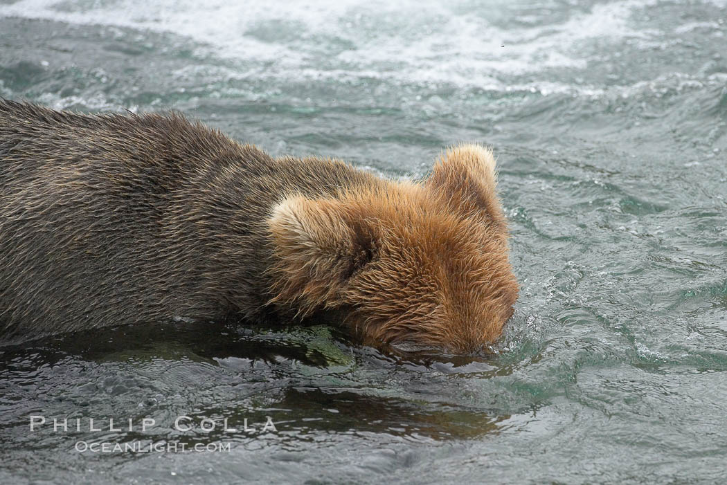 Brown bear (grizzly bear) snorkeling in the Brooks River, looking for salmon. Katmai National Park, Alaska, USA, Ursus arctos, natural history stock photograph, photo id 17073