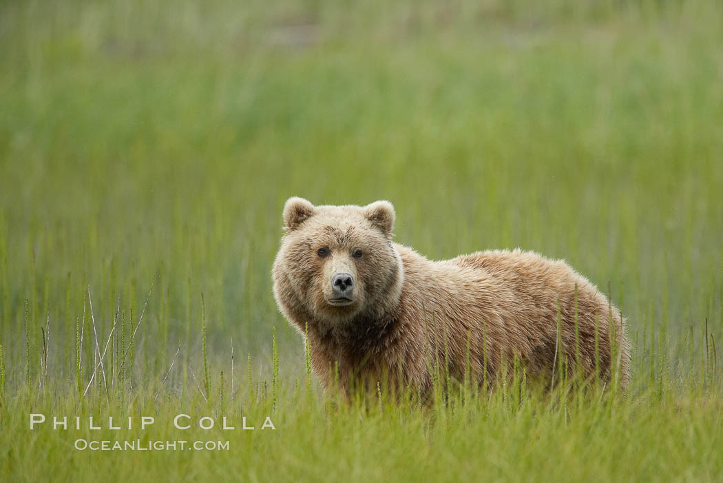 Coastal brown bear in meadow.  The tall sedge grasses in this coastal meadow are a food source for brown bears, who may eat 30 lbs of it each day during summer while waiting for their preferred food, salmon, to arrive in the nearby rivers. Lake Clark National Park, Alaska, USA, Ursus arctos, natural history stock photograph, photo id 19253