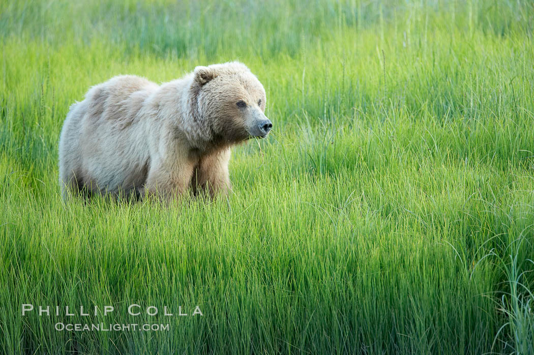 Coastal brown bear in meadow.  The tall sedge grasses in this coastal meadow are a food source for brown bears, who may eat 30 lbs of it each day during summer while waiting for their preferred food, salmon, to arrive in the nearby rivers. Lake Clark National Park, Alaska, USA, Ursus arctos, natural history stock photograph, photo id 19166