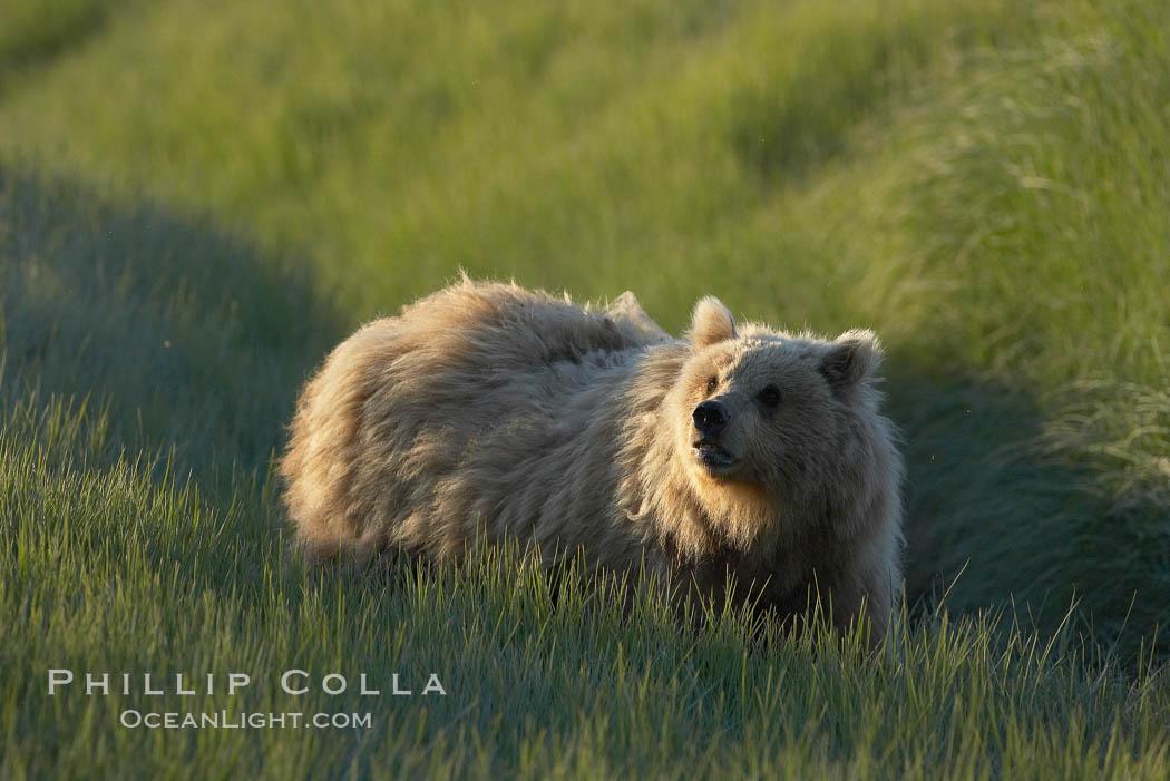 Young coastal brown bear in sedge grass meadow. Lake Clark National Park, Alaska, USA, Ursus arctos, natural history stock photograph, photo id 19170