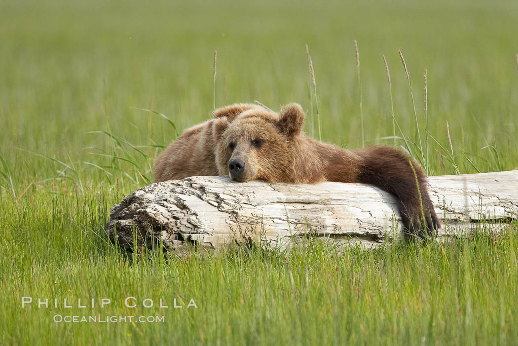 Lazy grizzly bear naps on a log, surrounding by the grass sedge grass that is typical of the coastal region of Lake Clark National Park. Lake Clark National Park, Alaska, USA, Ursus arctos, natural history stock photograph, photo id 19160