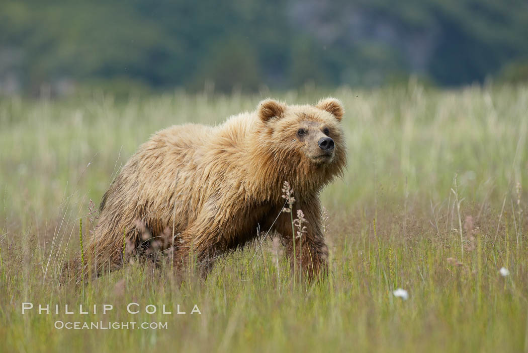 Coastal brown bear cub, one and a half years old, near Johnson River.  This cub will remain with its mother for about another six months, and will be on its own next year. Johnson River, Lake Clark National Park, Alaska, USA, Ursus arctos, natural history stock photograph, photo id 19159