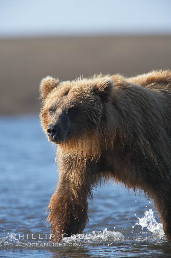Coastal brown bear forages for salmon returning from the ocean to Silver Salmon Creek.  Grizzly bear. Silver Salmon Creek, Lake Clark National Park, Alaska, USA, Ursus arctos, natural history stock photograph, photo id 19167