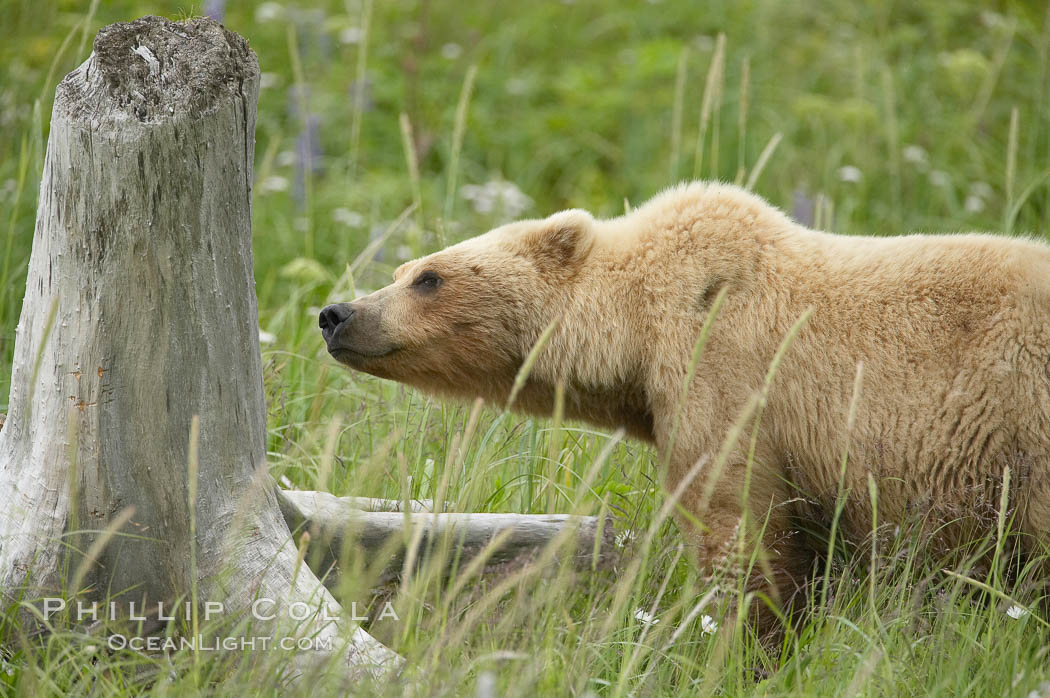 Female brown bear smells a tree stump for the scent of other bears that may be using the meadow in which she is keeping her cubs.  Large adult males pose a threat to her cubs. Lake Clark National Park, Alaska, USA, Ursus arctos, natural history stock photograph, photo id 19179