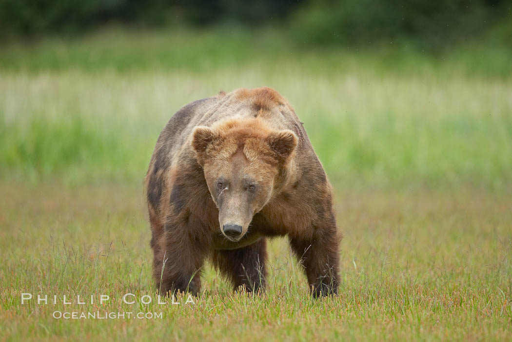 Full grown, mature male coastal brown bear boar (grizzly bear) in sedge grass meadows. Lake Clark National Park, Alaska, USA, Ursus arctos, natural history stock photograph, photo id 19161