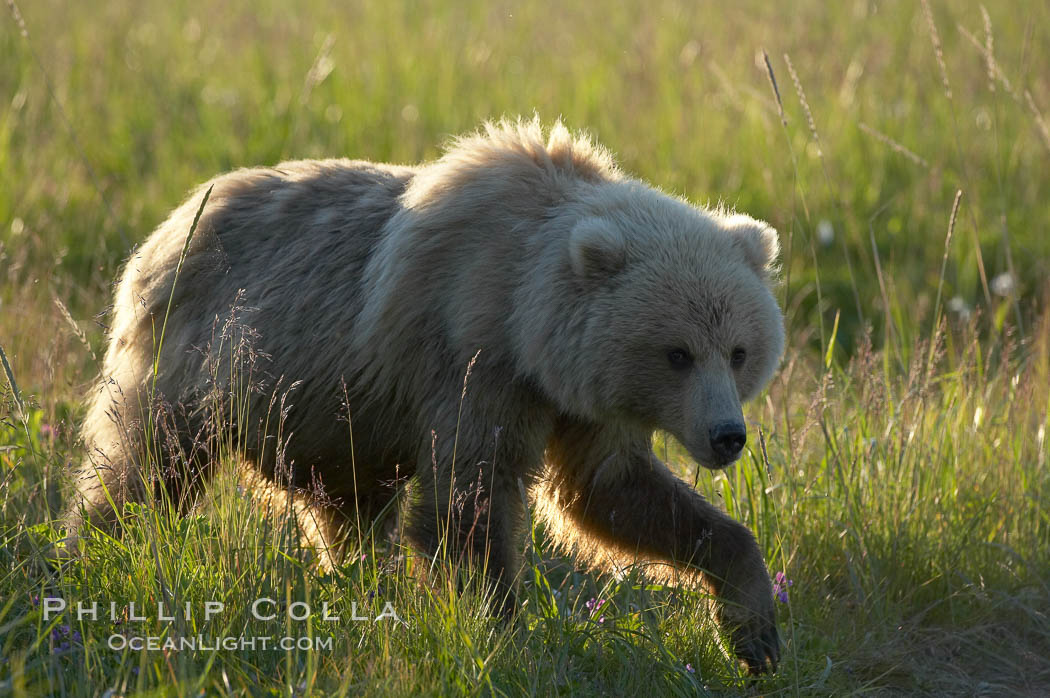 Coastal brown bear (grizzly bear) walks sedge grass meadow near Silver Salmon Creek. Lake Clark National Park, Alaska, USA, Ursus arctos, natural history stock photograph, photo id 19169