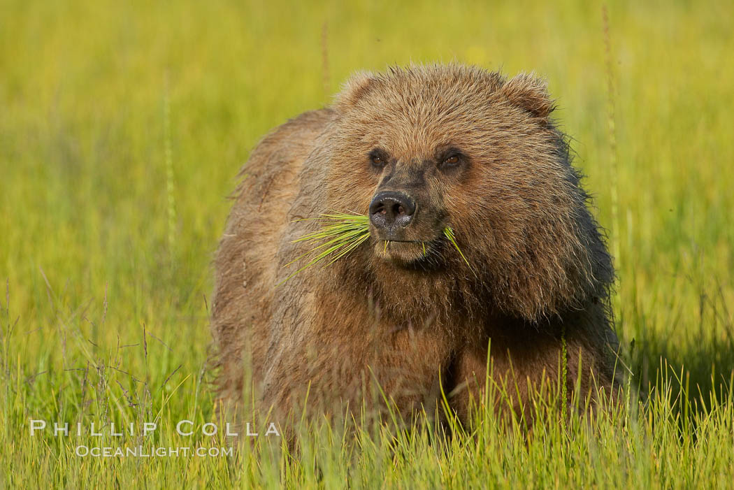 Young brown bear grazes in tall sedge grass.  Brown bears can consume 30 lbs of sedge grass daily, waiting weeks until spawning salmon fill the rivers. Lake Clark National Park, Alaska, USA, Ursus arctos, natural history stock photograph, photo id 19173