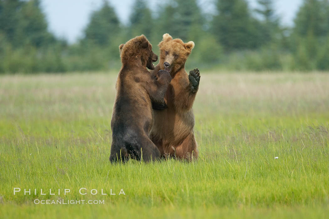Brown bears fighting or sparring.  These are likely young but sexually mature males that are simply mock fighting for practice. Lake Clark National Park, Alaska, USA, Ursus arctos, natural history stock photograph, photo id 19177