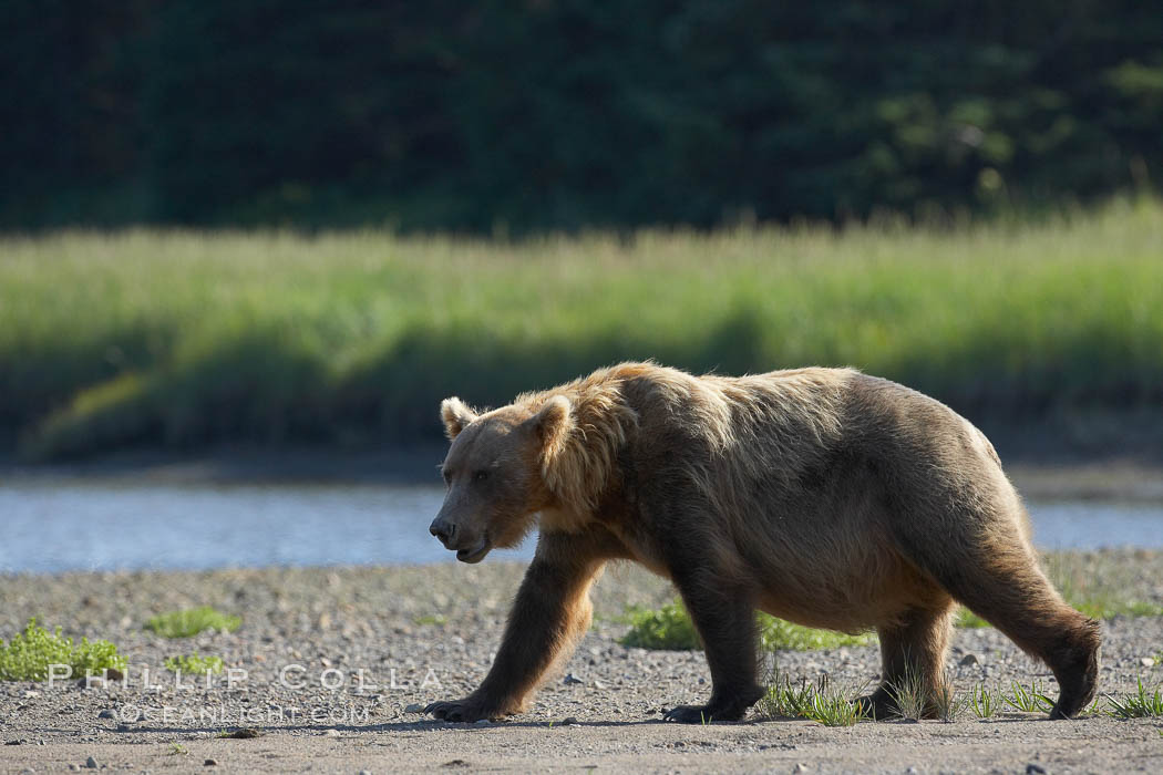 Brown bear paces alongside Silver Salmon Creek. Lake Clark National Park, Alaska, USA, Ursus arctos, natural history stock photograph, photo id 19210