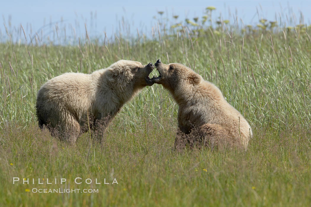 Brown bear cubs at play. Lake Clark National Park, Alaska, USA, Ursus arctos, natural history stock photograph, photo id 19214