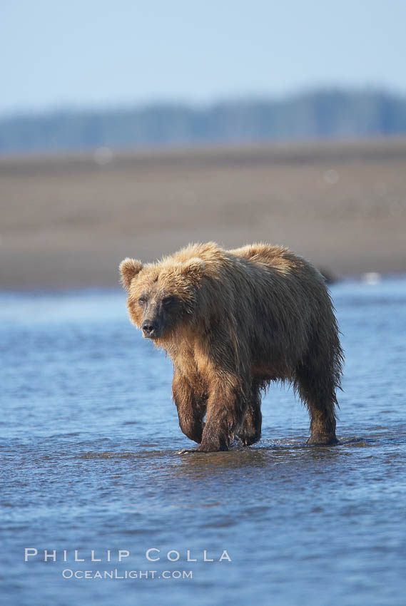 Coastal brown bear forages for salmon returning from the ocean to Silver Salmon Creek.  Grizzly bear. Silver Salmon Creek, Lake Clark National Park, Alaska, USA, Ursus arctos, natural history stock photograph, photo id 19238