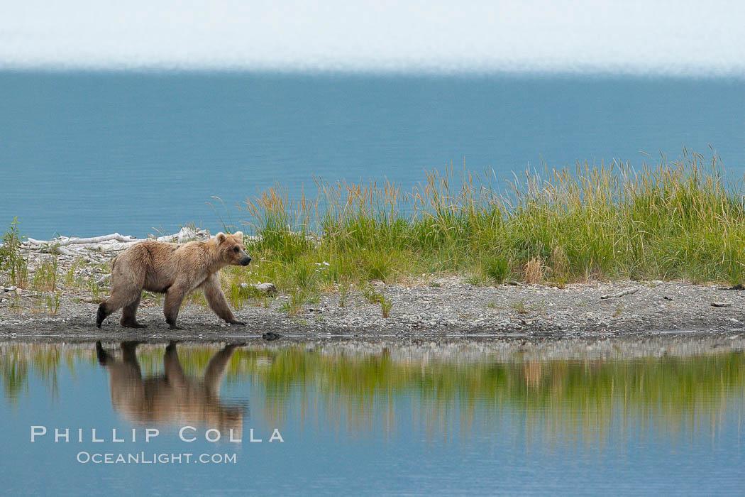 Brown bear reflected in the Brooks River at the edge of Brooks Lake. Brooks River, Katmai National Park, Alaska, USA, Ursus arctos, natural history stock photograph, photo id 17124
