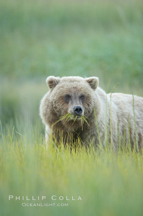 Brown bear grazing on sedge grass.  It may eat up to 30 lbs of sedge grass each day during summer, while waiting for its preferred prey of spawning salmon to arrive. Lake Clark National Park, Alaska, USA, Ursus arctos, natural history stock photograph, photo id 19220