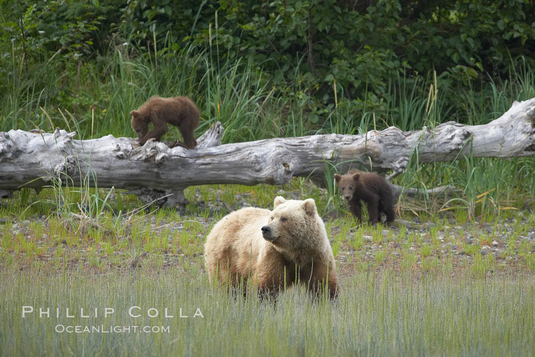Brown bear female mother sow is on alert for the approach of other bears which may pose a threat to her three small spring cubs. Lake Clark National Park, Alaska, USA, Ursus arctos, natural history stock photograph, photo id 19232