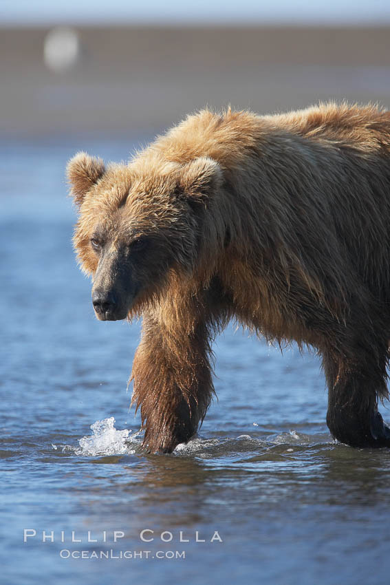 Coastal brown bear forages for salmon returning from the ocean to Silver Salmon Creek.  Grizzly bear. Silver Salmon Creek, Lake Clark National Park, Alaska, USA, Ursus arctos, natural history stock photograph, photo id 19240