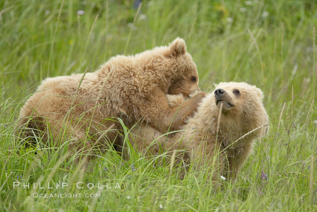 Coastal brown bear cubs playing in tall sedge grass. Lake Clark National Park, Alaska, USA, Ursus arctos, natural history stock photograph, photo id 19227