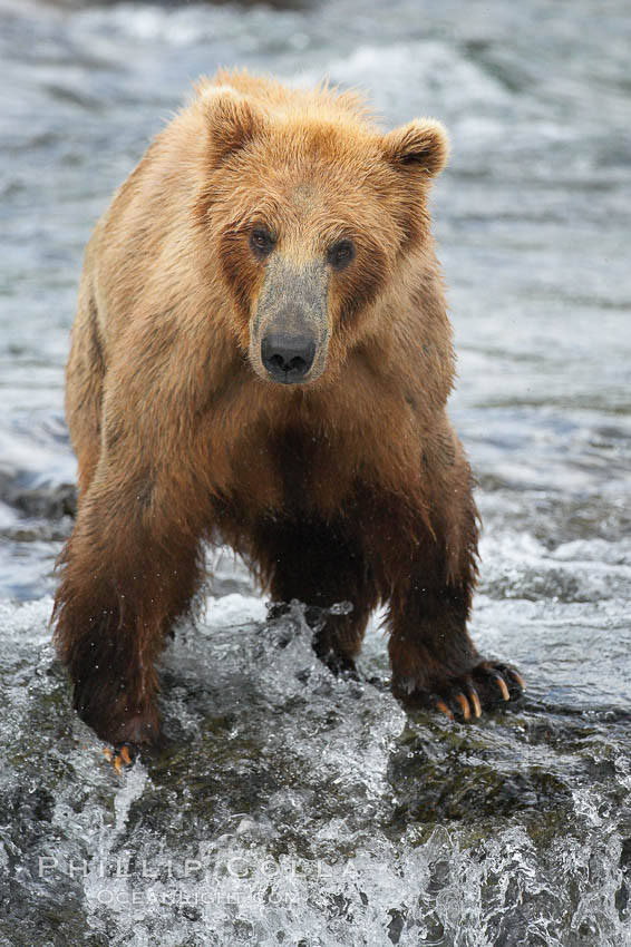 Brown bear (grizzly bear). Brooks River, Katmai National Park, Alaska, USA, Ursus arctos, natural history stock photograph, photo id 17125