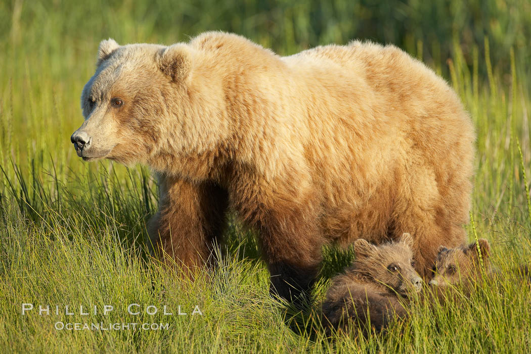 Brown bear female mother sow is on alert for the approach of other bears which may pose a threat to her three small spring cubs. Lake Clark National Park, Alaska, USA, Ursus arctos, natural history stock photograph, photo id 19233