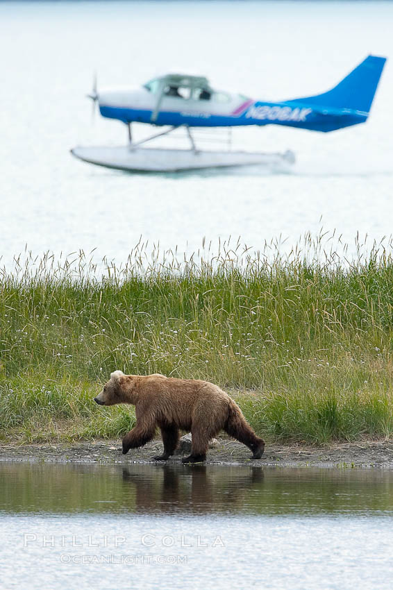 Floatplane lands on Brooks Lake near a brown bear (grizzly bear). Katmai National Park, Alaska, USA, Ursus arctos, natural history stock photograph, photo id 17370