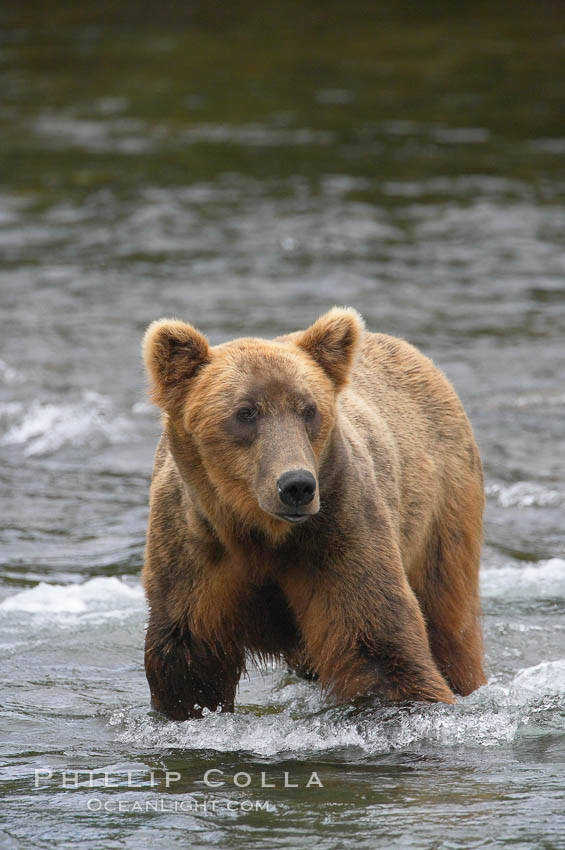 Brown bear (grizzly bear). Brooks River, Katmai National Park, Alaska, USA, Ursus arctos, natural history stock photograph, photo id 17177
