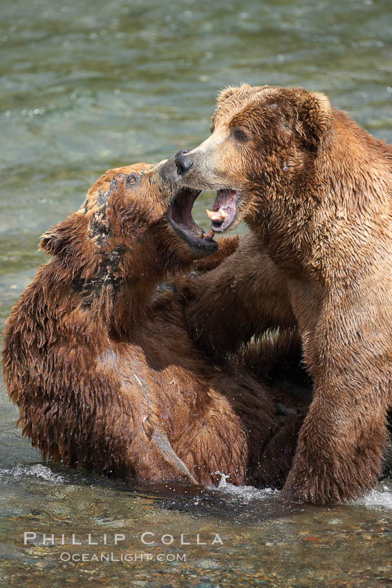Two mature brown bears fight to establish hierarchy and fishing rights. Brooks River, Katmai National Park, Alaska, USA, Ursus arctos, natural history stock photograph, photo id 17034