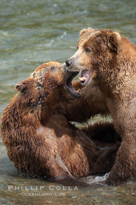 Two mature brown bears fight to establish hierarchy and fishing rights. Brooks River, Katmai National Park, Alaska, USA, Ursus arctos, natural history stock photograph, photo id 17114