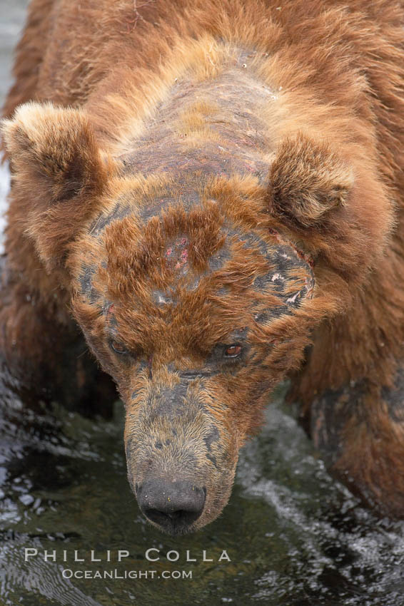 Brown bear bearing scars and wounds about its head from past fighting with other bears to establish territory and fishing rights. Brooks River. Brooks River, Katmai National Park, Alaska, USA, Ursus arctos, natural history stock photograph, photo id 17130