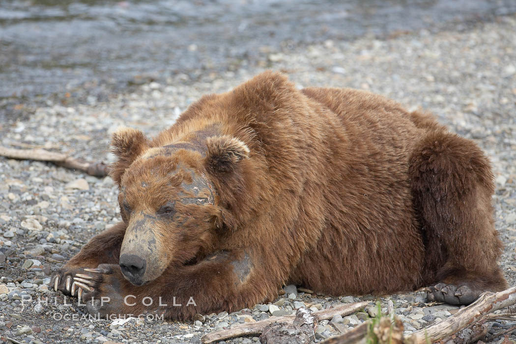 Brown bear bearing scars and wounds about its head from past fighting with other bears to establish territory and fishing rights. Brooks River. Brooks River, Katmai National Park, Alaska, USA, Ursus arctos, natural history stock photograph, photo id 17334